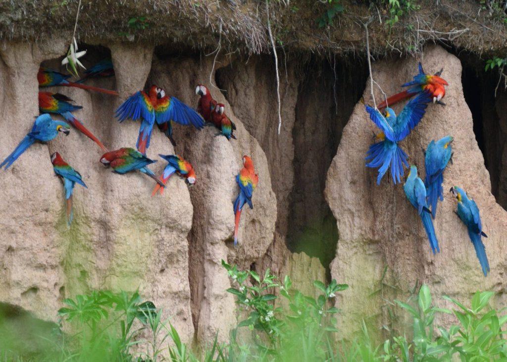 macaws peru